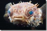 orbicular-burrfish13-04-300025grall